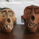 4 monkey Skulls from Indonesia
