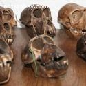 6 monkey Skulls