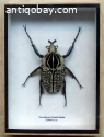 African Goliath beetle in a wooden box – 20,3 cm by 15 cm.