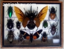 Assorted tropical insects in a wooden box.
