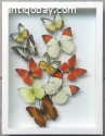 Butterflies as a form of art in a white shadow box