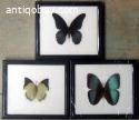 Exclusive subtropical butterflies in wooden frames.