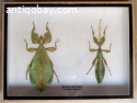 Moving Leaf insect pair in a wooden box.