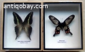 Two exclusive butterflies in wooden boxes.